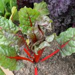 This image has an empty alt attribute; its file name is Swiss_Chard_1-150x150.jpg